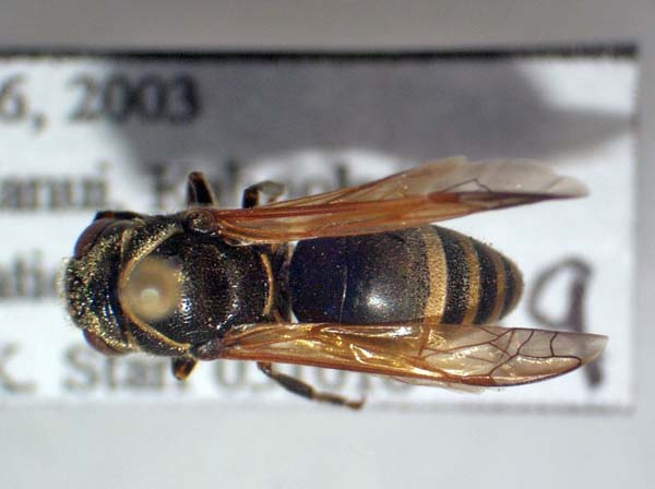Keyhole wasp | Pachodynerus nasidens photo