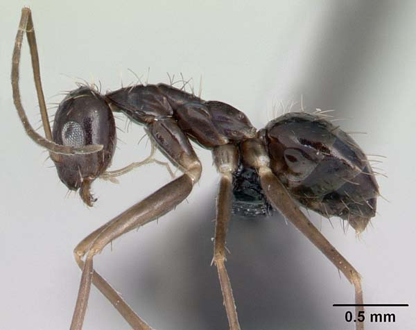 Crazy ant | Paratrechina longicornis photo