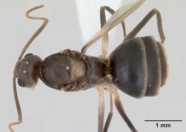 Crazy ant   Paratrechina longicornis photo