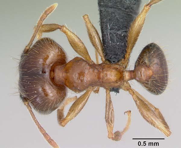 Bigheaded ant | Pheidole megacephala photo