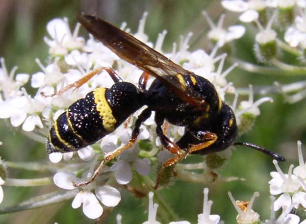 Sphecid wasp | Philanthus gibbosus photo