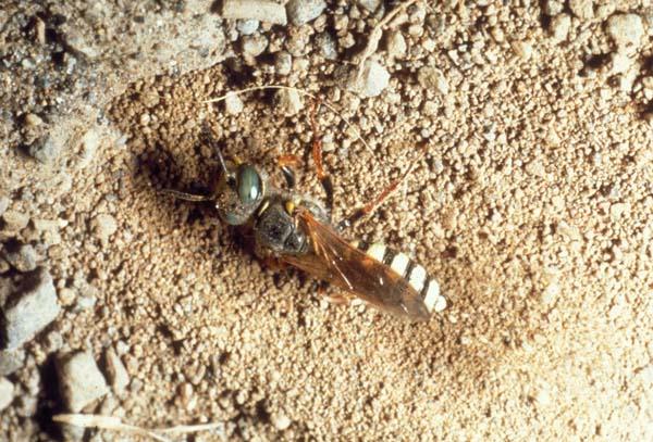 Sphecid wasp   Philanthus zebratus photo