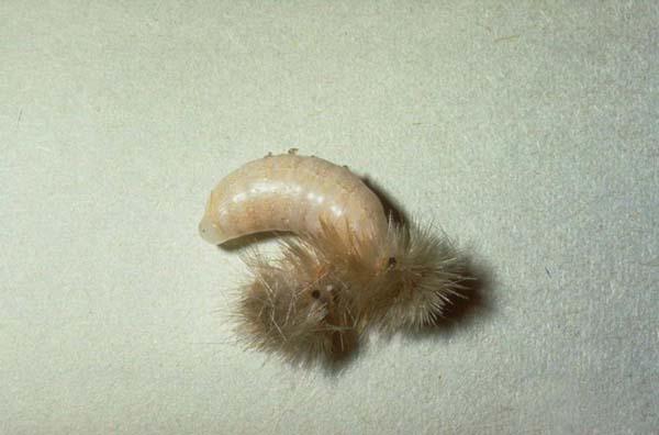 Sphecid wasp | Podalonia valida photo