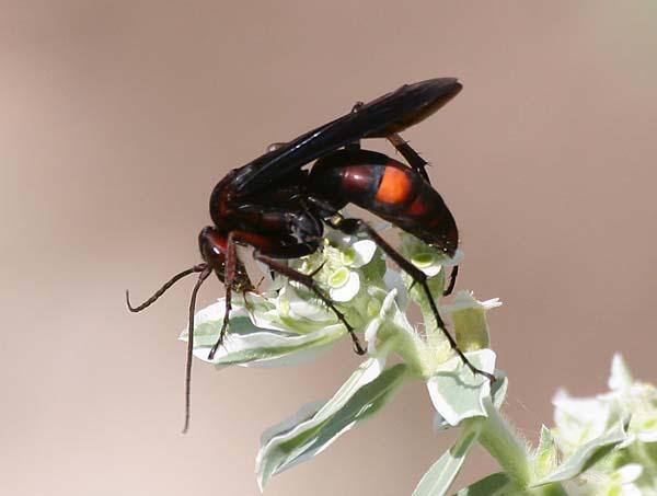 Spider Wasp | Poecilopompilus algidus photo