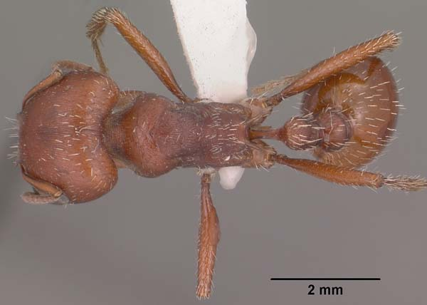 Red harvester ant | Pogonomyrmex barbatus photo