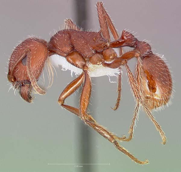 Western harvester ant | Pogonomyrmex occidentalis photo