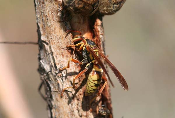 Golden paper wasp | Polistes aurifer photo