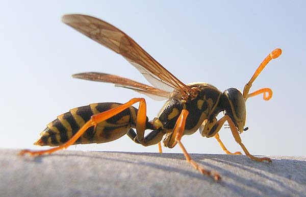 Asian paper wasp | Polistes chinensis antennalis photo