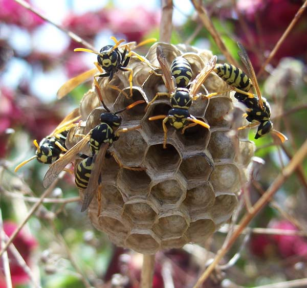 European Paper Wasp | Polistes dominula photo
