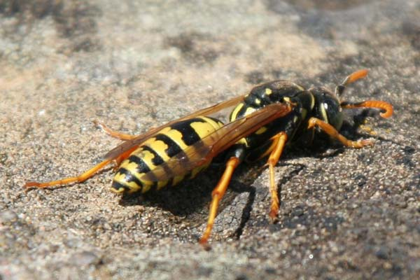 Paper wasp | Polistes dominula photo