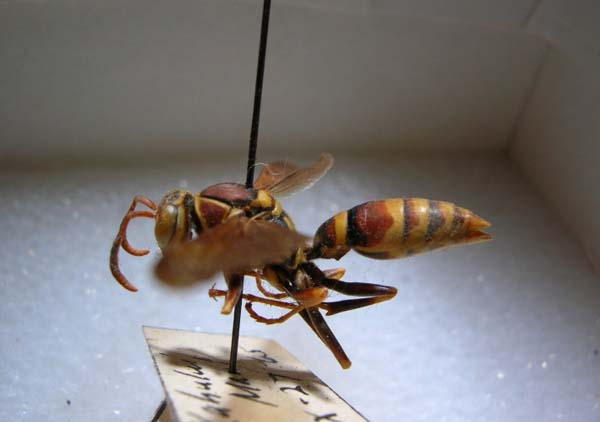 Common paper wasp | Polistes exclamans photo