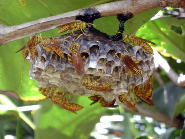 Macao paper wasp | Polistes olivaceus photo