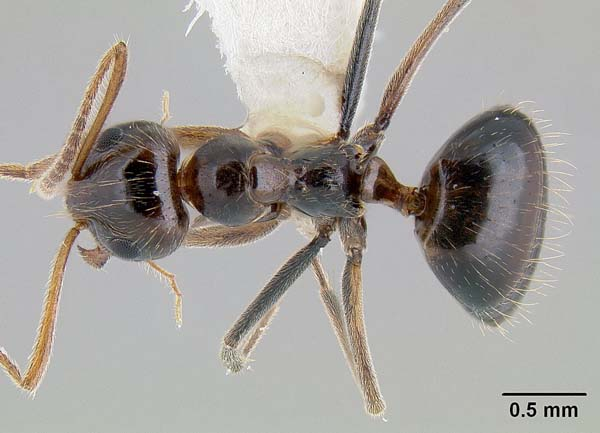 False honey ant | Prenolepis imparis photo