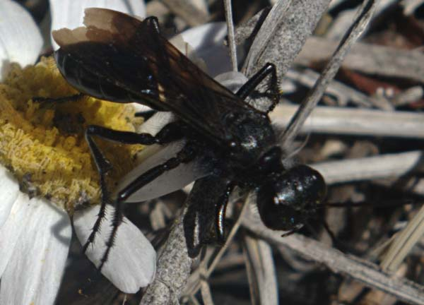 Sphecid wasp | Prionyx atratus photo