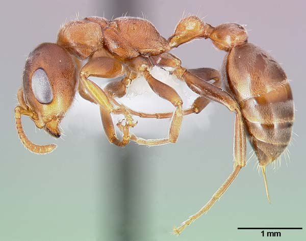 Acacia-ants | Pseudomyrmex ferrugineus photo