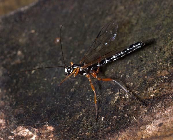 Giant ichneumon wasp | Rhyssa persuasoria photo