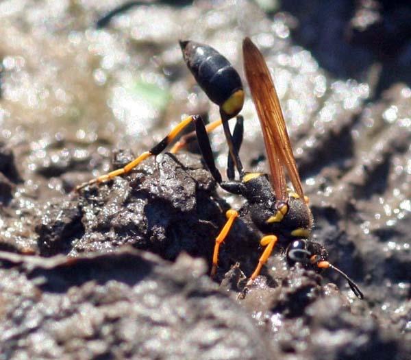 Black and yellow mud dauber   Sceliphron caementaria photo