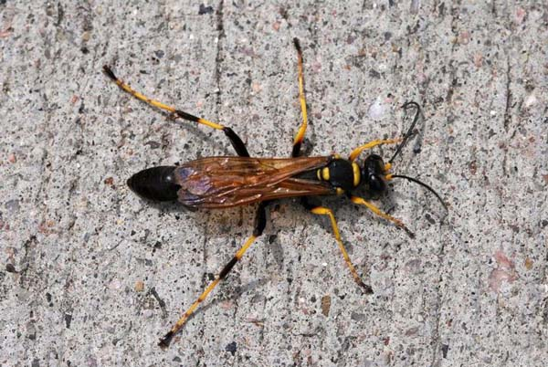 Black and yellow mud dauber | Sceliphron caementaria photo