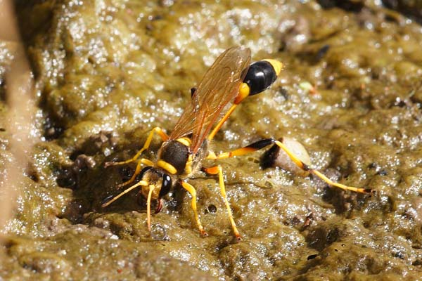 Sphecid wasp | Sceliphron laetum photo