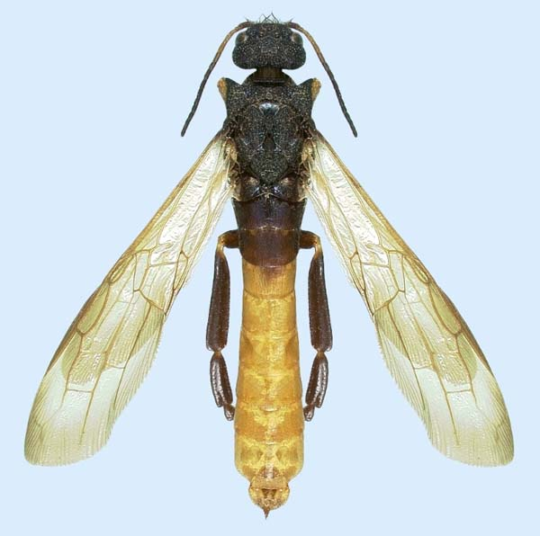 Woodwasp | Sirex nigricornis photo