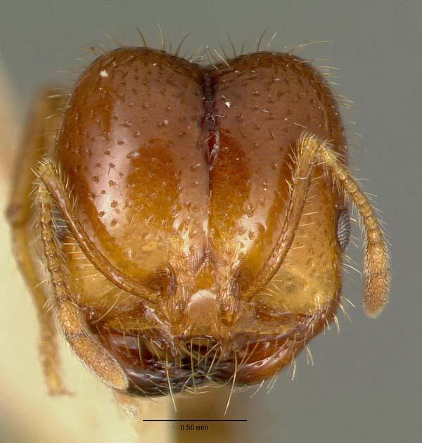 Fire ant | Solenopsis geminata photo