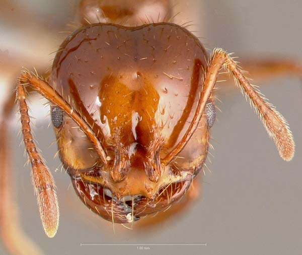 Red imported fire ant | Solenopsis invicta photo