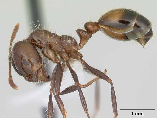 Black imported fire ant | Solenopsis richteri photo