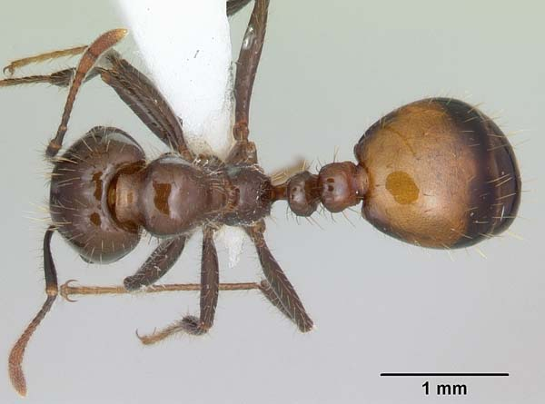 Black imported fire ant   Solenopsis richteri photo