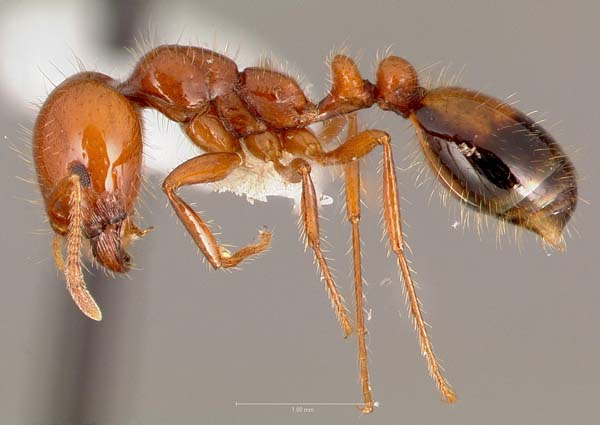 Southern fire ant | Solenopsis xyloni photo
