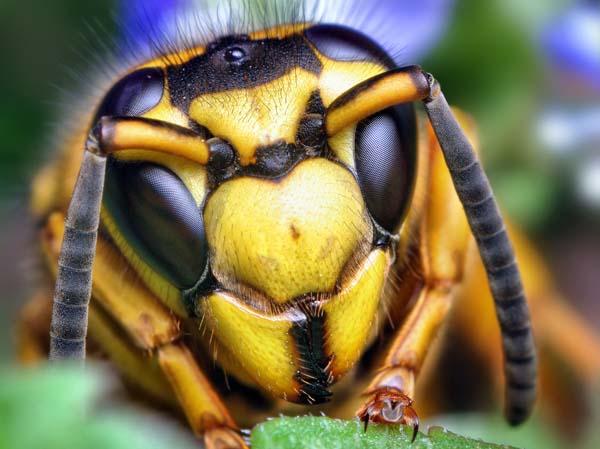 Southern yellowjacket   Vespula squamosa photo