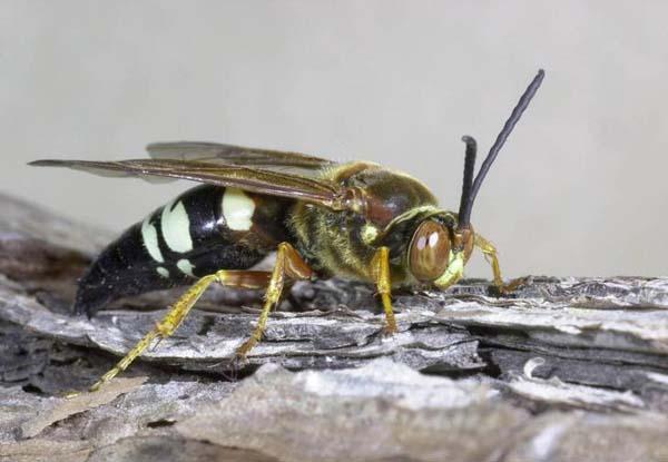 Cicada killer | Sphecius speciosus photo