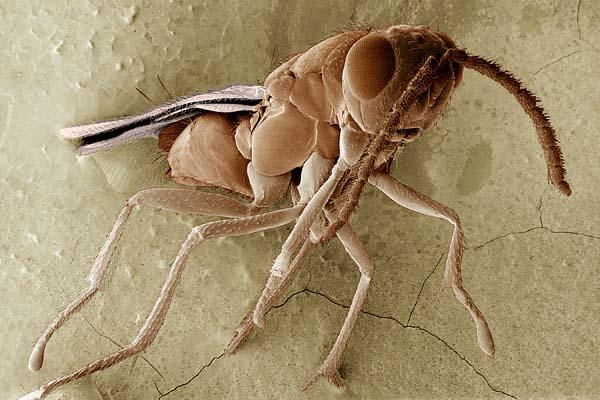 Encyrtid wasp | Tachinaephagus zealandicus photo