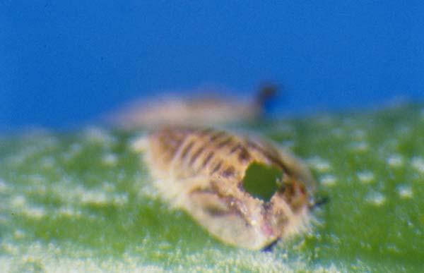 Eulophid wasp   Tamarixia radiata photo
