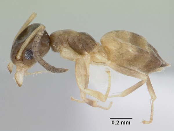 Ghost ant | Tapinoma melanocephalum photo