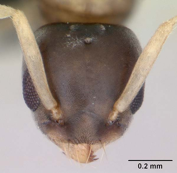 Ghost ant   Tapinoma melanocephalum photo