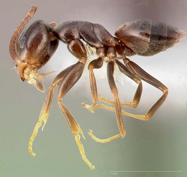 Odorous house ant | Tapinoma sessile photo