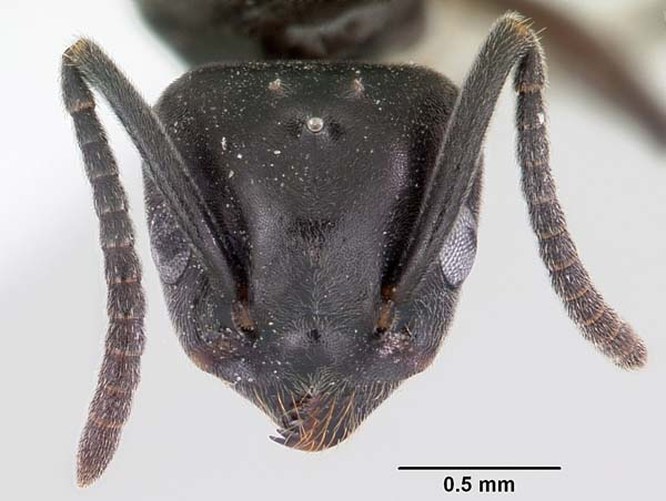 Odorous house ant   Tapinoma sessile photo