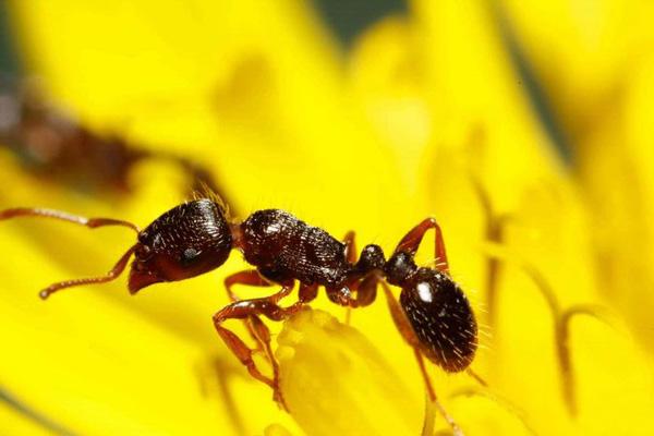 Pavement ant | Tetramorium caespitum photo