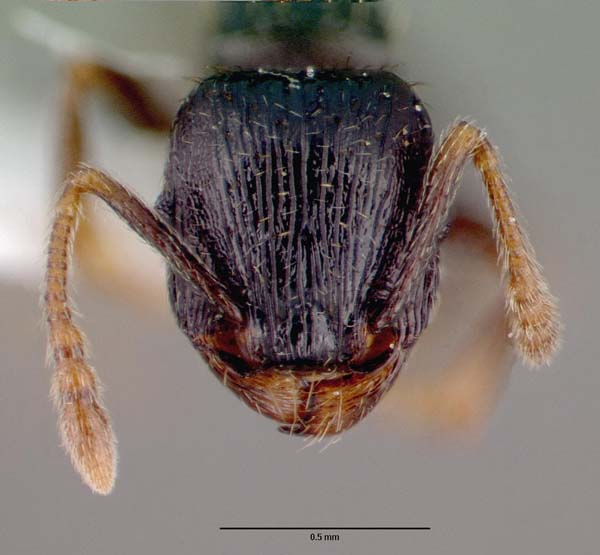 Pavement ant | Tetramorium caespitum photo