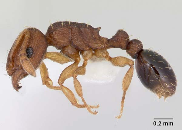 Ant | Tetramorium simillimum photo