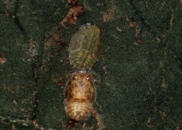 Eulophid wasp | Tetrastichus triozae photo