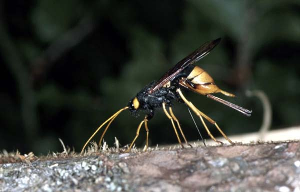 Giant wood wasp | Urocerus gigas gigas photo