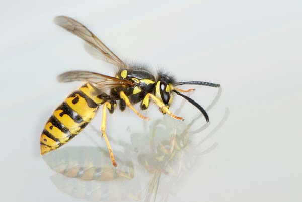 German yellowjacket | Vespula germanica photo