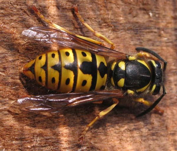 German yellowjacket | Vespula germanica photo