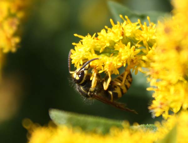 Eastern yellowjacket | Vespula maculifrons photo