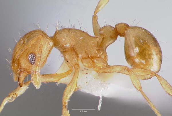 Little fire ant | Wasmannia auropunctata photo