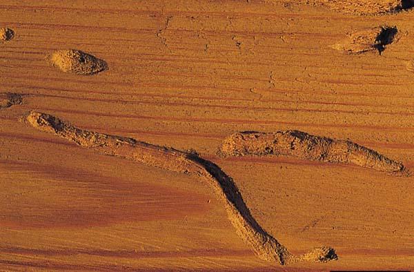 Woodwasp | Xeris spectrum photo