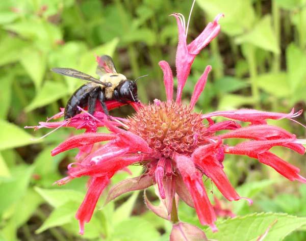 Eastern Carpenter bee   Xylocopa virginica photo