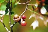 Acorn-plum gall