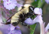 Golden northern bumble bee